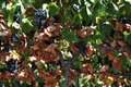 Red Grapes On The Vine, Andalusia. Royalty Free Stock Photo - 65407095