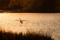 Swan Flying Over Lake At Sunset Stock Image - 65449301