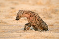 Spotted Hyena Stock Photos - 65483553