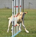 Yellow Labrador Retriever At Dog Agility Trial Stock Photography - 65560272