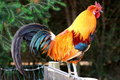 Rooster Stock Images - 65566334