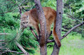 Mountain Lion Up A Tree. Stock Images - 65574174