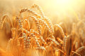 Wheat Field. Ears Of Golden Wheat Closeup Stock Photography - 65575322