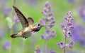 Annas Hummingbird In Flight With Purple Lavender Flowers Stock Image - 65583441
