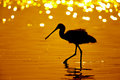 Silhouette Of Black-faced Spoonbill (Platalea Minor) Seeking Food In Sea With Twilight Stock Photos - 65590023