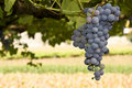 Ripe Grape Cluster Royalty Free Stock Images - 6560169