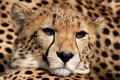 Cheetah - Acinonyx Jubatus Royalty Free Stock Photo - 6560345