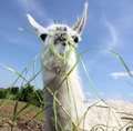 Lama Stock Photography - 6562092