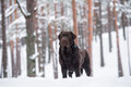 Brown Labrador Retriever Dog Outdoors In Winter Royalty Free Stock Image - 65620466