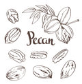 Green Pecan Nuts With Leaves And Dried Pecan Nuts Isolated On A White Background. Royalty Free Stock Images - 65641429