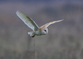 Barn Owl Stock Images - 65661054