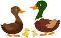 Set Of Duck, Duckling And Drake. Vector Illustration Royalty Free Stock Photos - 65678318