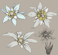 Edelweiss Flower Royalty Free Stock Images - 65681349