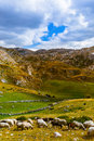 Sheeps In National Mountains Park Durmitor - Montenegro Royalty Free Stock Images - 65741489