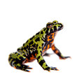 Oriental Fire-bellied Toad, Bombina Orientalis, On White Stock Photography - 65793312