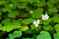 Common Wood Sorrel Stock Photo - 65802140