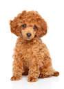 Toy Poodle Puppy Stock Photos - 65830283