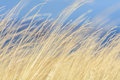 Dry Grass With Blue Sky Behind. Dry Grass Yellow Background With Stock Photo - 65839110