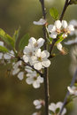 Cherry Flowers. Royalty Free Stock Images - 65855919