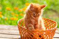 Little Red Cat In A Wicker Basket On Green Background Outdoors Royalty Free Stock Image - 65913976