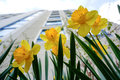 Yellow Daffodils (narcissus,jonquil) In Spring Royalty Free Stock Image - 65925976