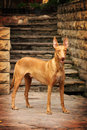 Pharaoh Hound Stock Photos - 65946293