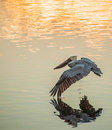 Pelican Flying Stock Photography - 65961682