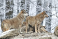 A Pack Of Wolves Stock Photography - 65972352
