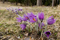 Pasque Flower Stock Image - 65991061