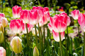 Spring Tulips Stock Photography - 660562