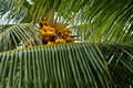 Palm Tree Leaf And Coconuts Royalty Free Stock Photos - 6609488
