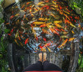 Many Gold Fish In  River , Koh Samui Stock Photography - 66023722