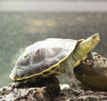 The Turtle Ocadia Sinensis. Stock Photos - 66047693