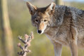 Coyote Royalty Free Stock Photos - 66056928