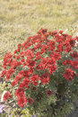 Red Flowers In The Garden Stock Image - 66066061