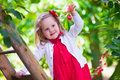 Little Girl Picking Fresh Cherry Berry In The Garden Royalty Free Stock Photography - 66092187