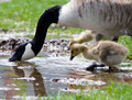 Canada Geese Royalty Free Stock Photos - 6611098