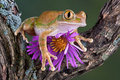 Big-eyed Tree Frog With Aster Stock Photography - 6615362