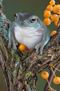 Tree Frog With Yellow Berries Royalty Free Stock Photos - 6615678