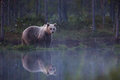 Brown Bear In Finnish Forest With Reflection From Lake Royalty Free Stock Photography - 66115757