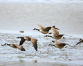 Canada Geese In Flight Stock Photo - 66165690
