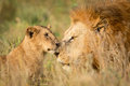 Young Lion Cub Greeting A Large Male Lion In The Serengeti, Tanzania Stock Photo - 66198370