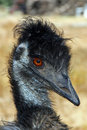 Emu Stock Photos - 6627363