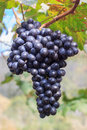 Black Grapes In Farm With Blur Background. Royalty Free Stock Photos - 66222708
