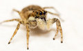 Jumping Spider Stock Photos - 66231053