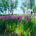 Fireweed Blooming In A Forest Glade Among  Birches. Royalty Free Stock Photography - 66261097