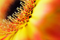 Detail, Photo Of Yellow And Orange Gerbera, Macro Photography And Flowers Background Stock Photography - 66264462