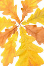 Oak Leaves Royalty Free Stock Image - 6633626