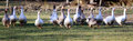 Group Of White And Grey Domestic Geese Running Across On Meadow Stock Photos - 66303563
