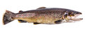 Brown Trout Fish Royalty Free Stock Photo - 66341755